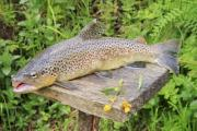 Brown trout (Salmo trutta) in Transylvania - Brown trout