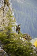 Alpine chamois buck (Rupicapra rupicapra) in the Carpathians - Alpine chamois