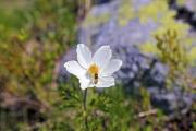 Alpine pasqueflower or alpine anemone (Pulsatilla alba) with honey bee - Pulsatilla alba