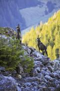 Two chamois bucks (Rupicapra rupicapra) in the mountains in Transylvania. - Alpine chamois