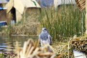 Falcon on a floating island on Lake Titicaca - Falcon on Lake Titicaca