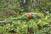 Multi-coloured chameleon in the jungle - Chameleon in the jungle