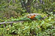 Multi-coloured chameleon in the jungle - Chameleon in the jungle