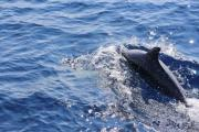 Dolphin swiming in the Adriatic sea - Dolphin in the blue sea