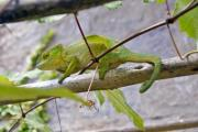 Chameleon among the branches in Madagascar - Green at the moment