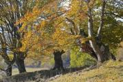 Trees with very thick trunks in autumn - Stately trees