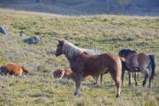 Some brown horses on the pasture - Brown horses