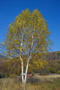 Two big birch trees grown together - Twin birch trees