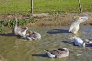 Some domestic geese (Anser anser domesticus) in a pond - Bathing domestic geese