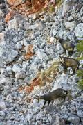 Three chamois (Rupicapra rupicapra) in the mountains - Three chamois