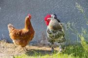 Rooster and hen in the poultry yard - Meeting his hen