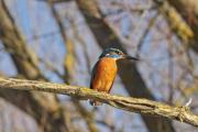 A common kingfisher (Alcedo atthis) sitting on a branch - Common kingfisher