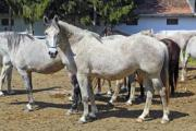 Pale, so-called roan horses on a ranch - Roan horses