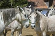 Some grey, roan horses on a farm - Group of roan horses