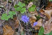 Blue wildflowers and green leaves - Small blue flowers