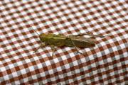 Greenish brown cicada on the table - Cicada