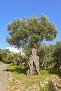Old olive tree in the mediterranean region - Old olive tree