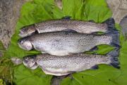 Three fish on a burdock bed - Fish threesome