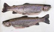 Two brown trouts (Salmo trutta) - A pair of trouts