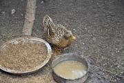 Female duck in the poultry yard - Female duck