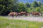 Grazing brown horses on a meadow - Grazing horses