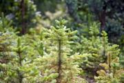 Small pines in the forest - Pine saplings