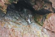 A lonely penguin is relaxing in a cave - Lonely penguin