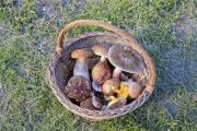 Chanterelle, parasol and summer cep mushrooms in a basket - Mushroom mix