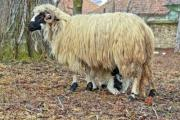 Transylvanian Racka sheep (Ovis aries aries) and lamb - Racka sheep from Ghimeș