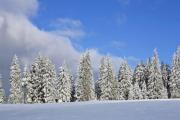 View of a snowy pine forest - Snowy pines