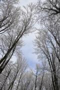 In the winter forest looking up to the sky - The trees bent over us