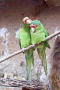 Two parrots sitting on a branch - A pair of parrot