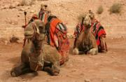 The camel is the traditional means of transport in the Jordanian Desert. - Camels of Petra, Jordan