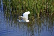 A flying great egret (Ardea alba) - Great egret