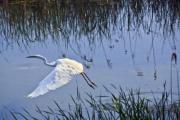 A great egret (Ardea alba) in flight - Great egret