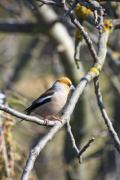 A hawfinch (Coccothraustes coccothraustes) on a tree - Hawfinch