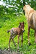 A mare with its foal - Mother and child
