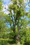 A huge and old tree with nice foliage - Green giant
