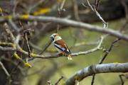 A sitting hawfinch (Coccothraustes coccothraustes) - Hawfinch