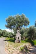 Gnarled olive tree somwhere in the Mediterrenian region - Olive tree
