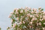 Pink oleander flowers with blue sky - Pink oleander