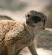 Meerkat sentry from the team - Meerkat 1