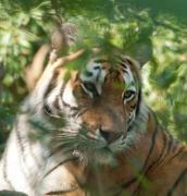 Tiger on the shady thickets - Tiger