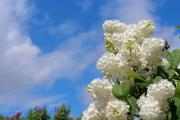 White lilac bush flower with clouds and blue sky