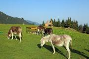 Some donkeys grazing on the meadow - Grazing donkeys