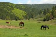 Horses grazing in a beautiful mountainous environment - Horses on the pasture