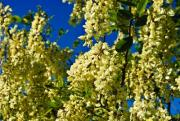 Bees buzz around the black locust in spring. - Spring buzz
