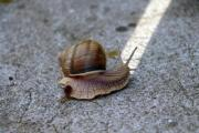 A snail is making a turn to the white line - Snail's on-line