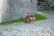 Molt fox sitting in front of a building - Molt fox