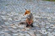 Molt fox sitting on the stone-paved square - Red fox